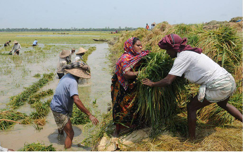 People try to save their very last paddy from the flood in Haor Area